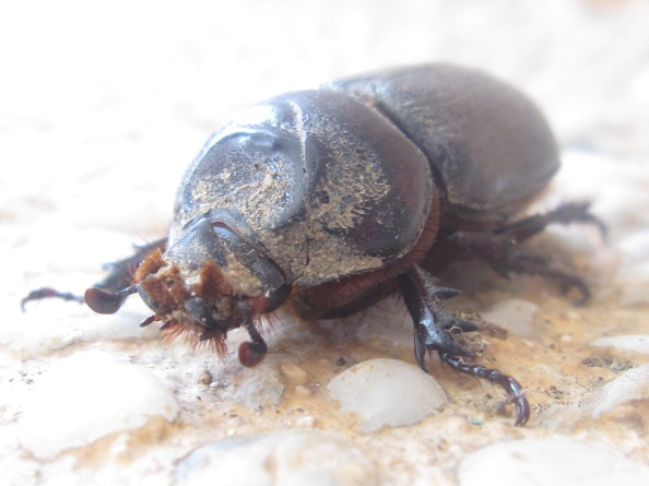 brown-dung-beetle