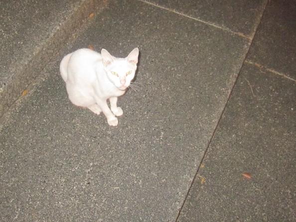 fierce-eyes-of-a-white-cat