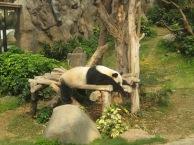 Ocean-Park-Hong-Kong-sleeping-panda-2